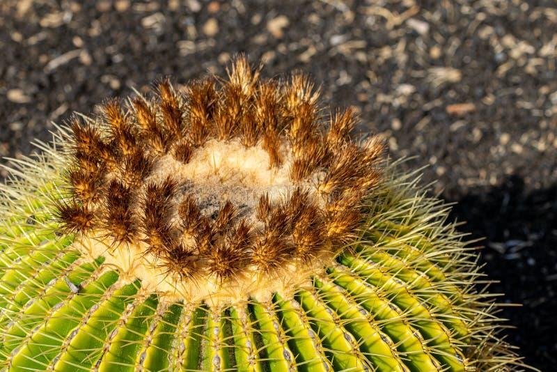 Κλείστε επάνω του χρυσού grusonii Echinocactus κάκτων βαρελιών στοκ φωτογραφία