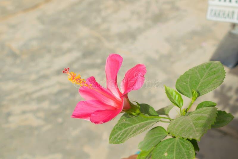 Κλείστε επάνω του όμορφου γαλακτώδους ρόδινου hibiscus λουλουδιού σε έναν κήπο στοκ φωτογραφία