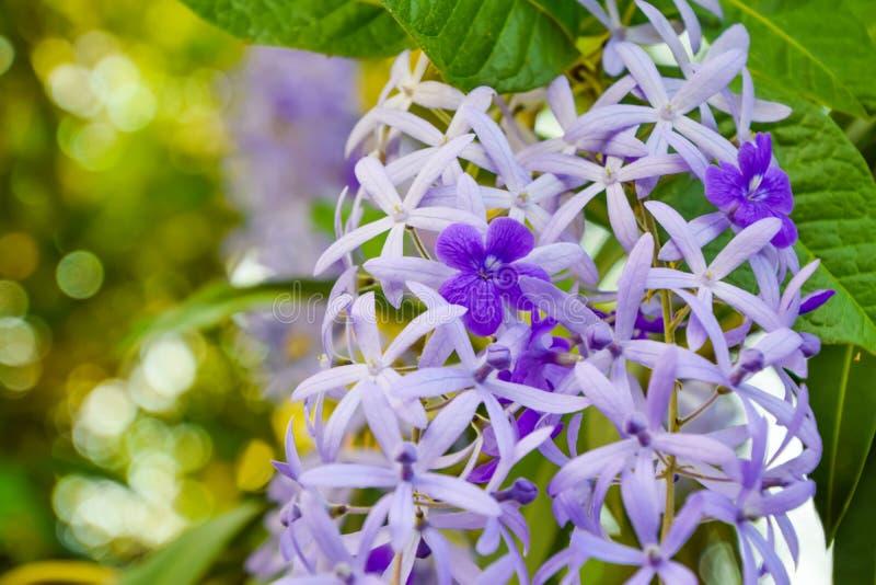 Κλείστε επάνω του όμορφου πορφυρού λουλουδιού, της αμπέλου γυαλόχαρτου ή του λουλουδιού petrea στο υπόβαθρο φύσης Bokeh στοκ εικόνες με δικαίωμα ελεύθερης χρήσης