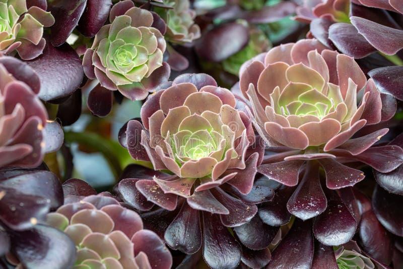 Κλείστε επάνω του όμορφου arboreum VAR Aeonium atropurpureum Σημείωση: Ρηχό βάθος του τομέα στοκ εικόνα