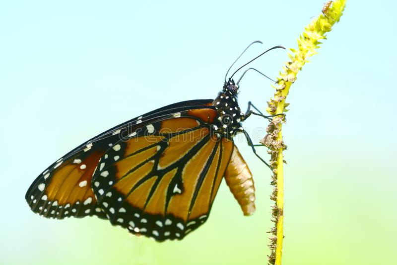 Κλείστε επάνω του gilippus βασίλισσας Butterfly Danaus στοκ φωτογραφία με δικαίωμα ελεύθερης χρήσης
