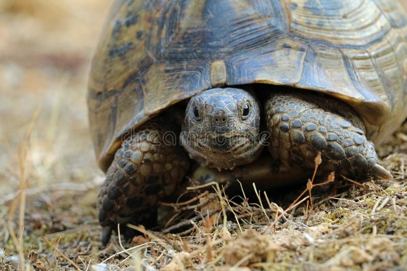 Κλείστε επάνω του hermanni testudo, χελώνα στο φυσικό μεσογειακό περιβάλλον στοκ φωτογραφία με δικαίωμα ελεύθερης χρήσης