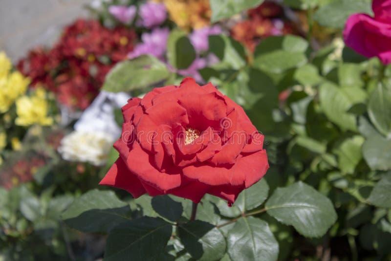 Κλείστε επάνω το βλαστό του κόκκινου tropicana αυξήθηκε λουλούδι στοκ φωτογραφία με δικαίωμα ελεύθερης χρήσης