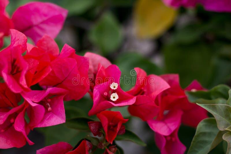 Κλείστε επάνω το ζωηρό χρώμα Bougainvillea και το μουτζουρωμένο υπόβαθρο στοκ εικόνες