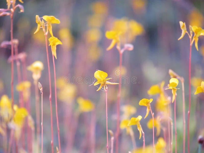Κλείστε επάνω το κίτρινο λουλούδι λιβαδιών είναι ανθίζοντας στους τομείς, Natur στοκ φωτογραφίες