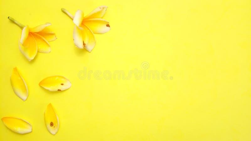 Κλείστε επάνω το κίτρινο υπόβαθρο με Frangipani, σχέδιο στοιχείων για το μήνυμα, απόσπασμα, τοποθέτηση κειμένων πληροφοριών στοκ εικόνα με δικαίωμα ελεύθερης χρήσης