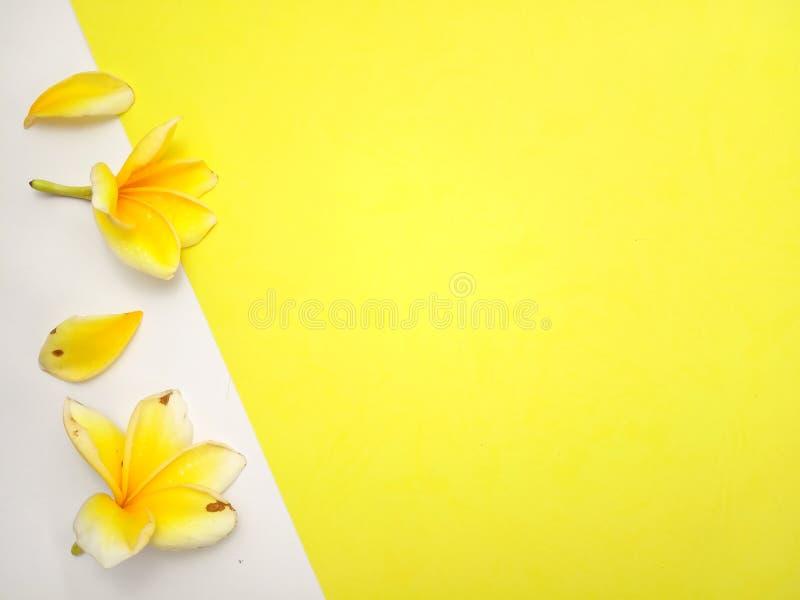 Κλείστε επάνω το κίτρινο υπόβαθρο με Frangipani, σχέδιο στοιχείων για το μήνυμα, απόσπασμα, τοποθέτηση κειμένων πληροφοριών στοκ φωτογραφίες