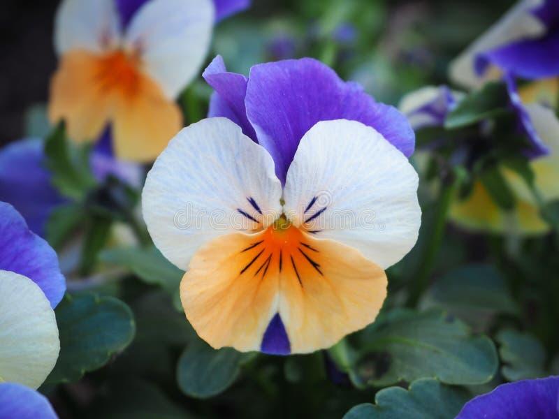 Κλείστε επάνω το λουλούδι pancy στοκ εικόνες