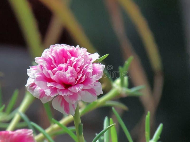 Κλείστε επάνω το λουλούδι Portulaca που ανθίζει σε ένα δοχείο σε έναν φωτεινό στοκ εικόνες