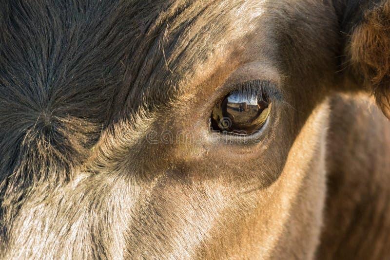 Κλείστε επάνω το μάτι αγελάδων με την αντανάκλαση στοκ εικόνες