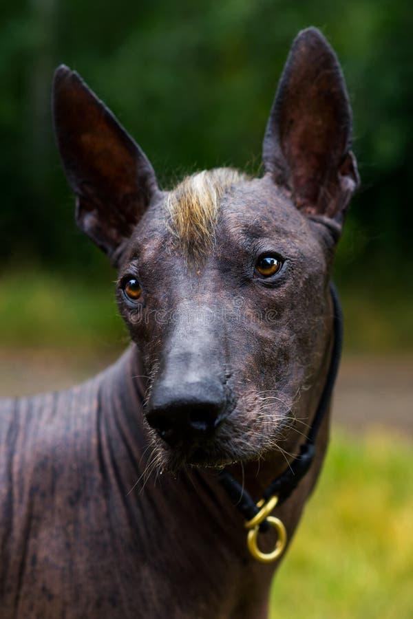 Κλείστε επάνω το μεξικάνικο άτριχο σκυλί πορτρέτου xoloitzcuintle, Xolo σε ένα υπόβαθρο της πράσινης χλόης στο πάρκο στοκ φωτογραφία με δικαίωμα ελεύθερης χρήσης