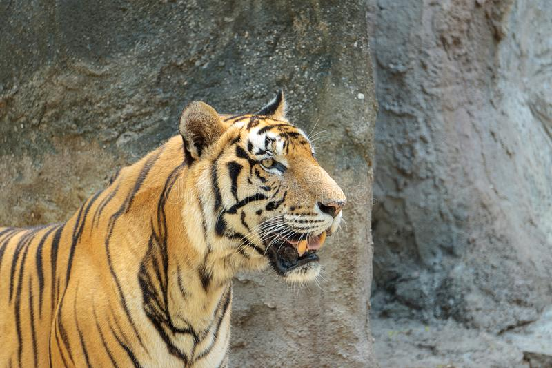 Κλείστε επάνω το νέο όμορφο μεγάλο αρσενικό ινδοκινέζικο corbetti Panthera Τίγρης τιγρών στο ζωολογικό κήπο Λατρευτό μεγάλο αιλου στοκ εικόνα με δικαίωμα ελεύθερης χρήσης