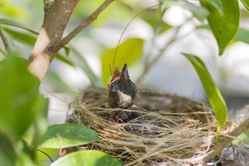 Κλείστε επάνω το πεινασμένο ανοικτό στόμα κραυγής πουλιών μωρών στη φωλιά στο δέντρο στοκ φωτογραφία με δικαίωμα ελεύθερης χρήσης