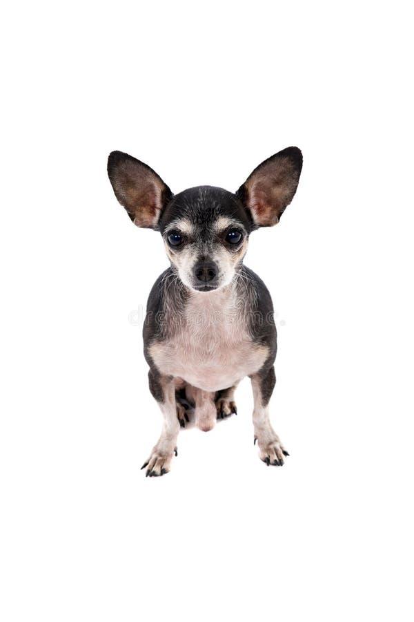 Κλείστε επάνω το πορτρέτο ενός σκυλιού Chihuahua στοκ εικόνες