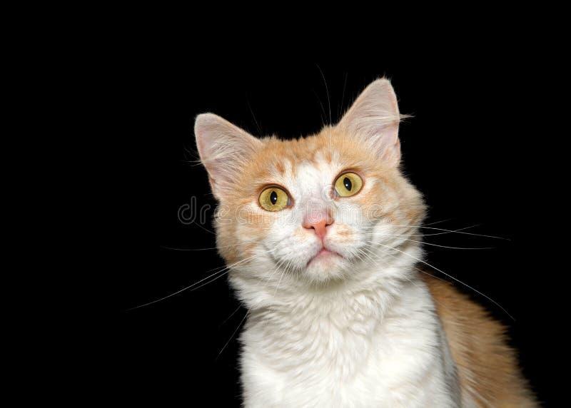 Κλείστε επάνω το πορτρέτο μιας άσπρης και πορτοκαλιάς γάτας στο Μαύρο στοκ εικόνες