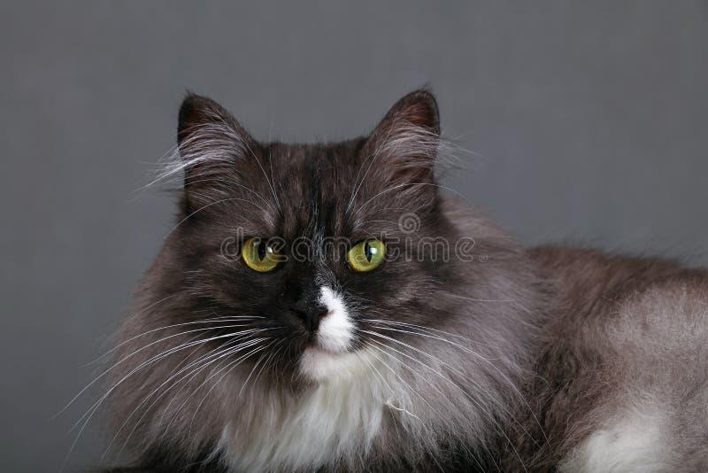 Κλείστε επάνω το πορτρέτο της γκρίζας εσωτερικής γάτας στοκ φωτογραφία