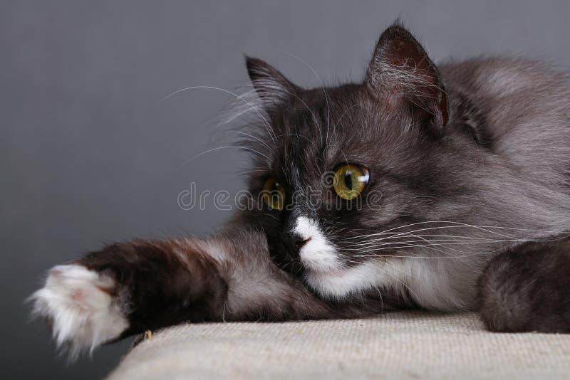 Κλείστε επάνω το πορτρέτο της γκρίζας εσωτερικής γάτας στοκ εικόνες