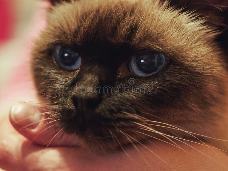 Κλείστε επάνω το πορτρέτο της σιαμέζας γάτας στοκ εικόνες
