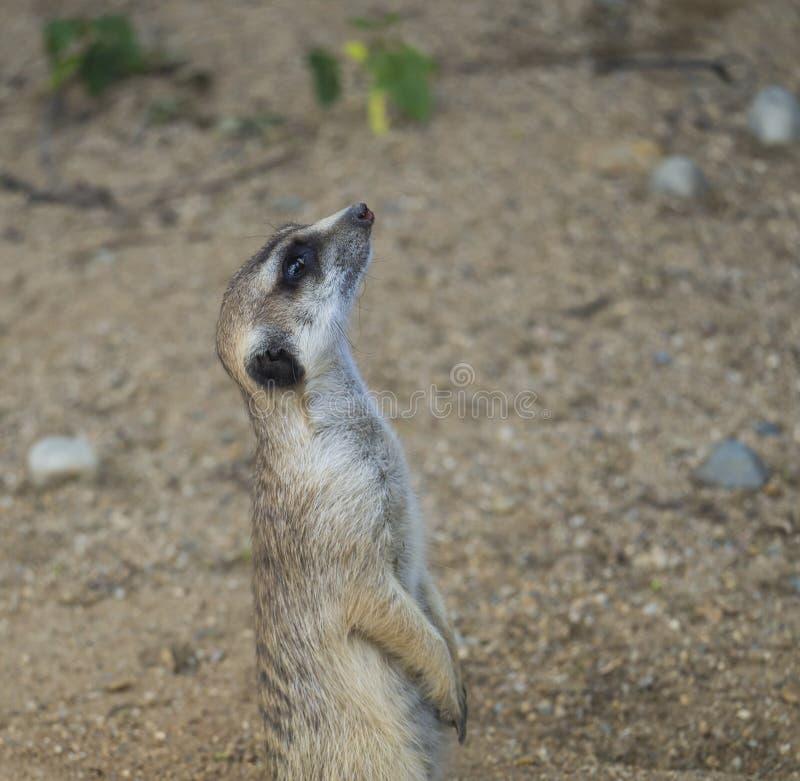 Κλείστε επάνω το πορτρέτο του meerkat ή suricate, πλάγια όψη σχεδιαγράμματος suricatta Suricata, της εκλεκτικής εστίασης, διάστημ στοκ φωτογραφία με δικαίωμα ελεύθερης χρήσης