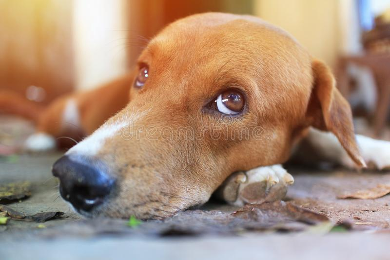 Κλείστε επάνω το πρόσωπο ενός λατρευτού καφετιού σκυλιού στοκ εικόνες με δικαίωμα ελεύθερης χρήσης