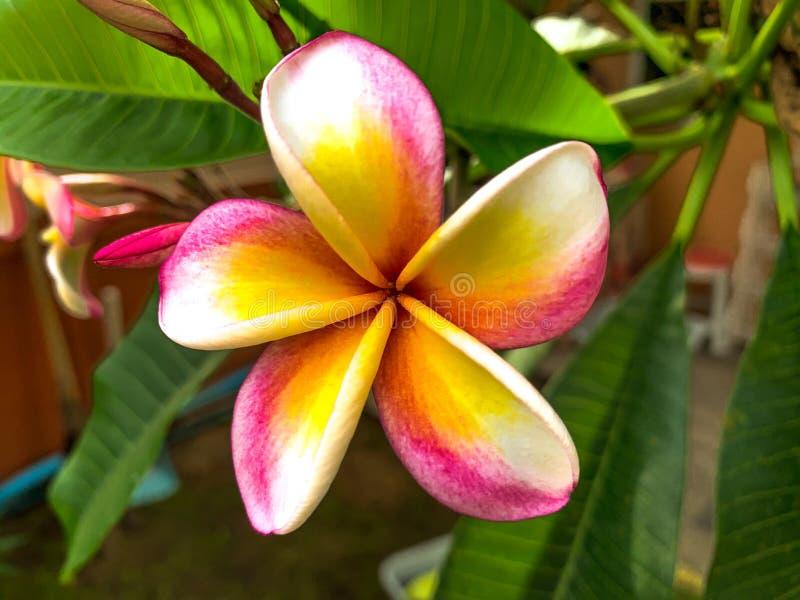 Κλείστε επάνω το ρόδινο λουλούδι frangipani που απομονώνεται στο δέντρο στοκ εικόνα