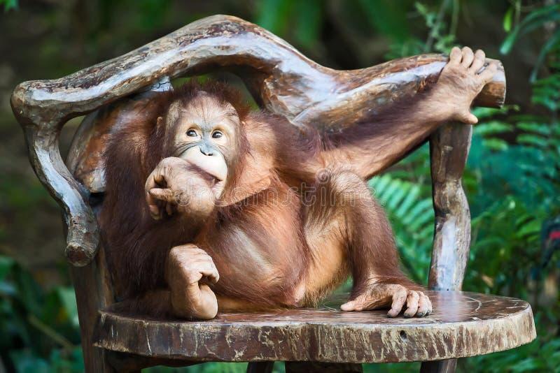 Κλείστε επάνω το χιμπατζή στοκ φωτογραφίες με δικαίωμα ελεύθερης χρήσης