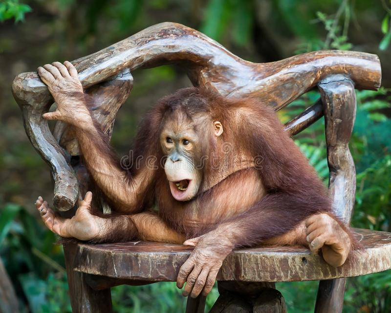 Κλείστε επάνω το χιμπατζή στοκ εικόνα με δικαίωμα ελεύθερης χρήσης