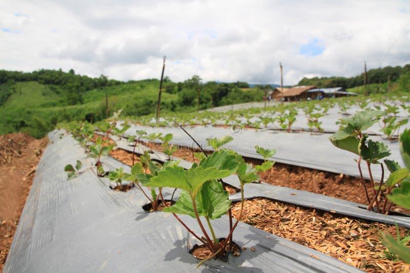 κλείστε επάνω το όμορφα πράσινα αγρόκτημα φραουλών και το τοπίο μπλε ουρανού στοκ φωτογραφίες με δικαίωμα ελεύθερης χρήσης