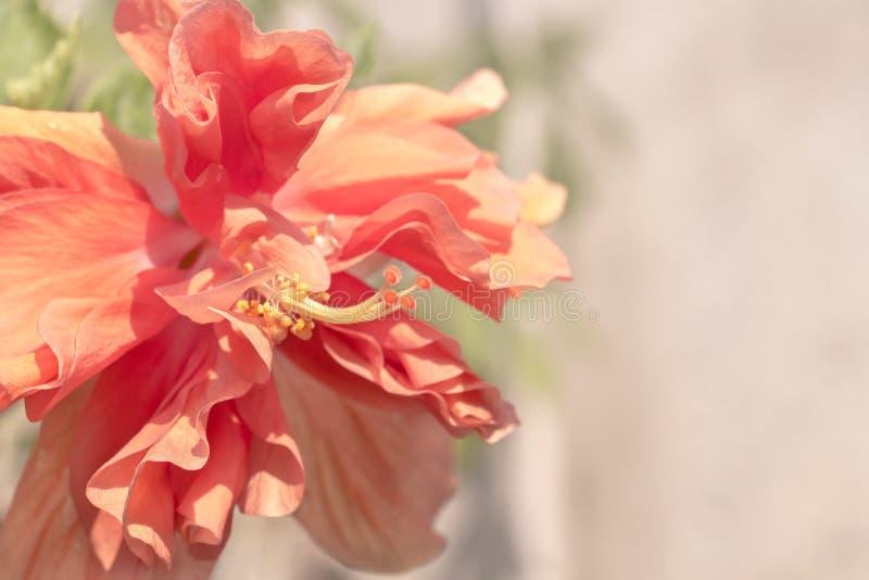 Κλείστε επάνω το όμορφο κόκκινο λουλούδι μπορεί να κληθεί hibiscus Rosa, Κίνα στοκ εικόνες