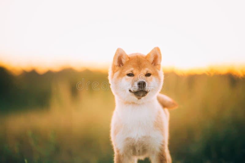 Κλείστε επάνω το όμορφο νέο κόκκινο σκυλί κουταβιών Shiba Inu πορτρέτου κατά τη διάρκεια στοκ φωτογραφίες με δικαίωμα ελεύθερης χρήσης