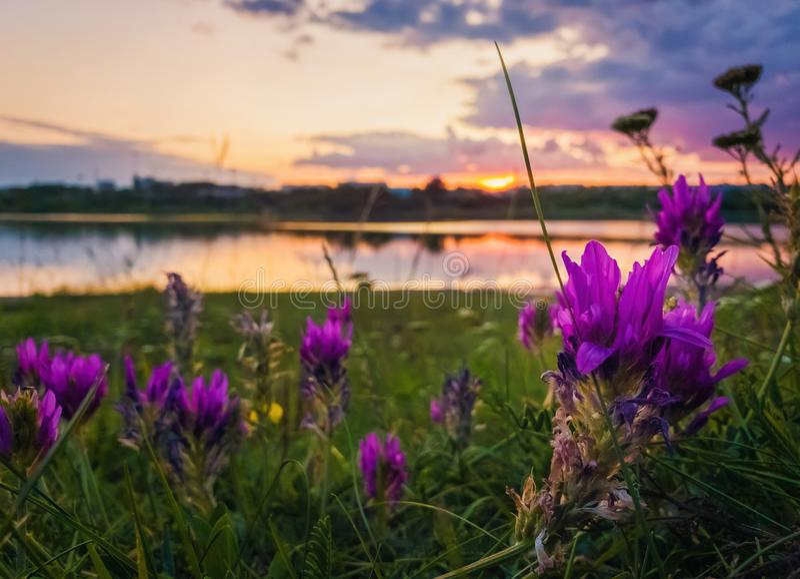 Κλείστε επάνω των άγριων, πορφυρών λουλουδιών που ανθίζουν στο λιβάδι κοντά στη λίμνη πέρα από το υπόβαθρο ηλιοβασιλέματος σε ένα στοκ φωτογραφίες με δικαίωμα ελεύθερης χρήσης