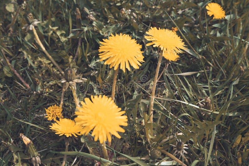 Κλείστε επάνω των ανθίζοντας κίτρινων λουλουδιών πικραλίδων στον κήπο στο χρόνο άνοιξη στοκ εικόνες