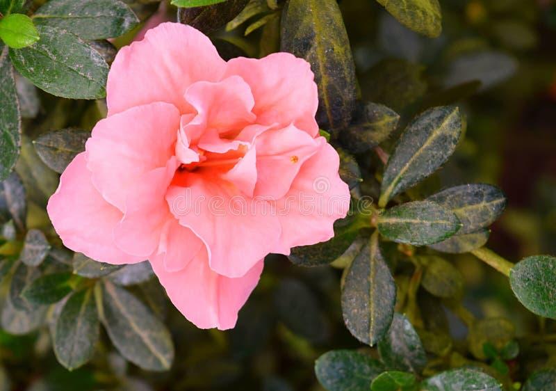 Κλείστε επάνω των αρκετά ρόδινων λουλουδιών της αζαλέας - Rhododendron Simsii με τα πράσινα φύλλα στοκ φωτογραφία με δικαίωμα ελεύθερης χρήσης