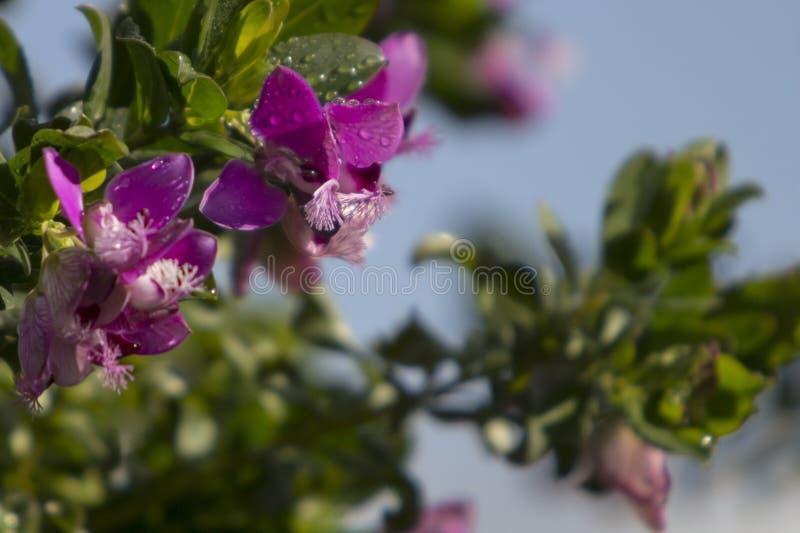 Κλείστε επάνω των γλυκών μπιζελιών λουλουδιών πεταλούδων θάμνων λεπτοκαμωμένων στοκ εικόνες