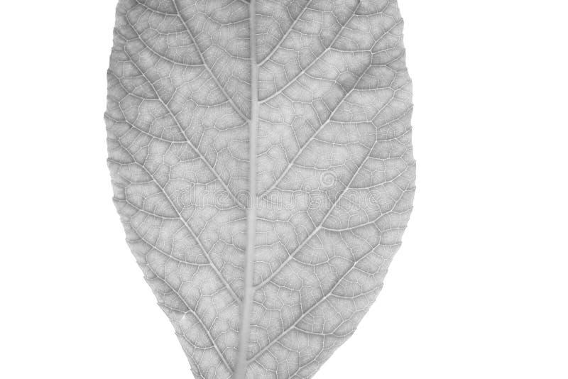Κλείστε επάνω των γραπτών φύλλων, δείτε τις λεπτομέρειες των ινών στο άσπρο υπόβαθρο στοκ φωτογραφία με δικαίωμα ελεύθερης χρήσης