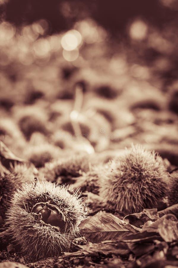 Κλείστε επάνω των κάστανων στο δασικό έδαφος στη γραπτή σέπια στοκ φωτογραφίες με δικαίωμα ελεύθερης χρήσης