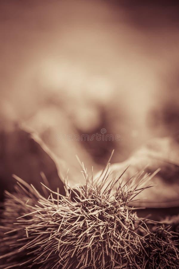 Κλείστε επάνω των κάστανων στο δασικό έδαφος στη γραπτή σέπια στοκ εικόνα