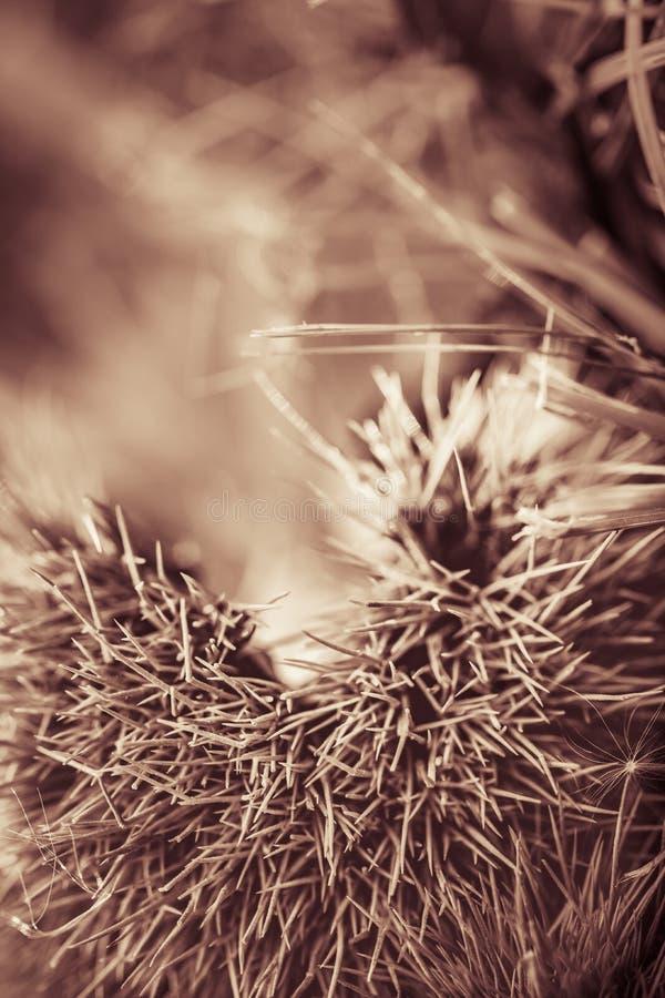Κλείστε επάνω των κάστανων στο δασικό έδαφος στη γραπτή σέπια στοκ φωτογραφία με δικαίωμα ελεύθερης χρήσης