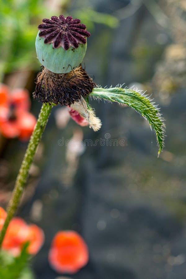 Κλείστε επάνω των κόκκινων λουλουδιών παπαρουνών σε έναν τομέα στοκ φωτογραφία με δικαίωμα ελεύθερης χρήσης