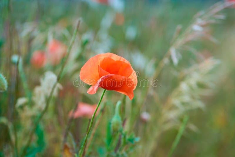 Κλείστε επάνω των κόκκινων λουλουδιών παπαρουνών στοκ εικόνα με δικαίωμα ελεύθερης χρήσης