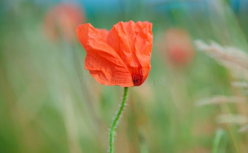 Κλείστε επάνω των κόκκινων λουλουδιών παπαρουνών στοκ φωτογραφίες με δικαίωμα ελεύθερης χρήσης