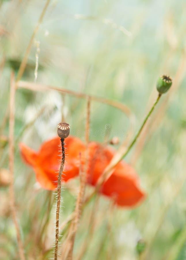 Κλείστε επάνω των κόκκινων λουλουδιών παπαρουνών στοκ φωτογραφία