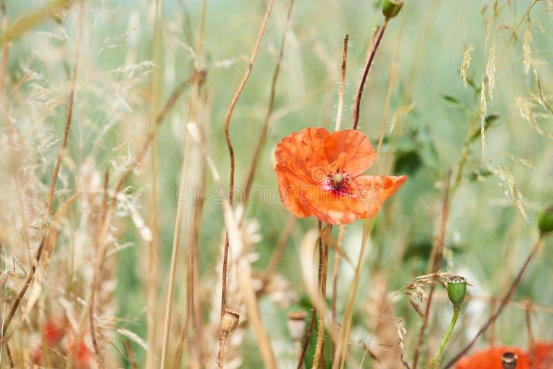 Κλείστε επάνω των κόκκινων λουλουδιών παπαρουνών στοκ εικόνες με δικαίωμα ελεύθερης χρήσης