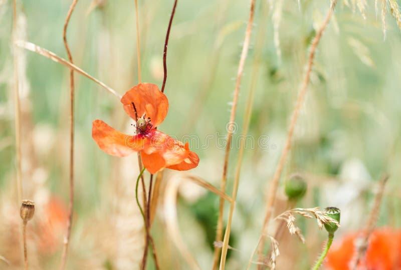 Κλείστε επάνω των κόκκινων λουλουδιών παπαρουνών στοκ εικόνα