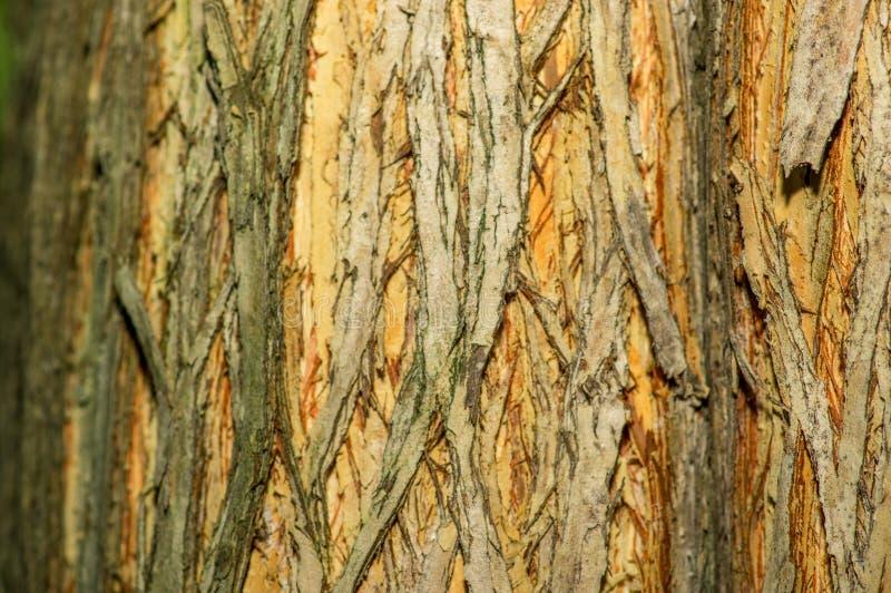 Κλείστε επάνω των λεπτομερειών της πραγματικής παλαιάς ξύλινης σύστασης δέντρων Ξύλινο υπόβαθρο με την καφετιά δομή Φυσική δασική στοκ φωτογραφία