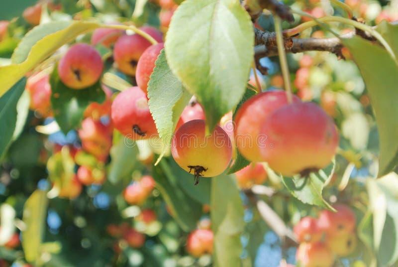 Κλείστε επάνω των μικρών διακοσμητικών κόκκινων κίτρινων ώριμων μήλων στο πίτουρο στοκ εικόνες