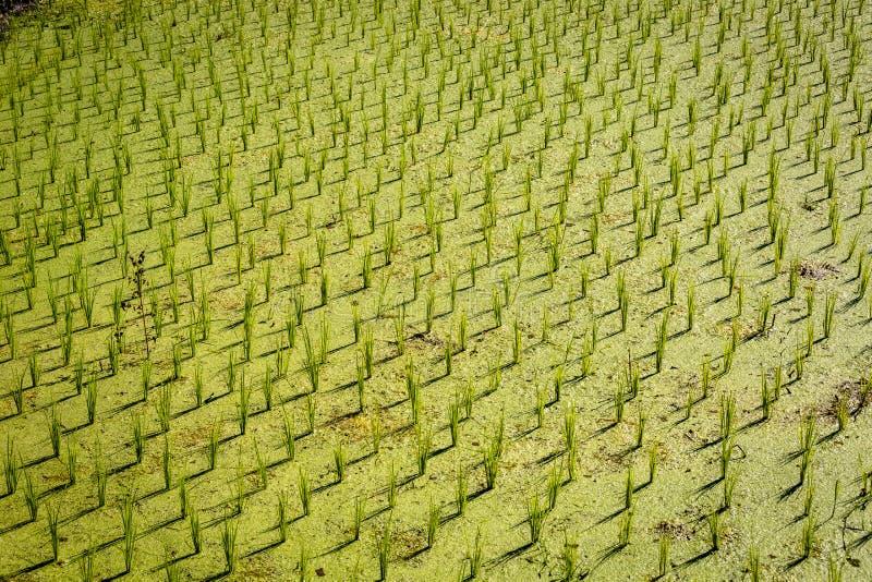 Κλείστε επάνω των νέων εγκαταστάσεων ρυζιού στην Ινδονησία στοκ εικόνες