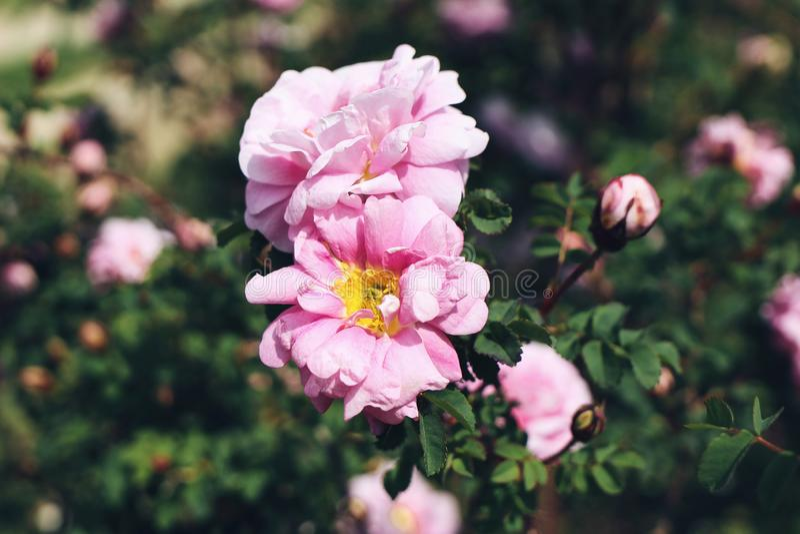 Κλείστε επάνω των ρόδινων ροδαλών λουλουδιών στον κήπο στην ηλιόλουστη ημέρα Όμορφος αιώνιος ανθίζοντας θάμνος Εστίαση, που θολών στοκ εικόνες