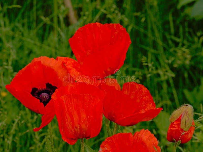 Κλείστε επάνω των φωτεινών κόκκινων μεγάλων λουλουδιών παπαρουνών με τις σταλαγματιές βροχής στοκ φωτογραφία