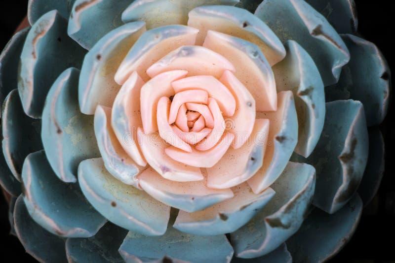 Κλείστε επάνω των succulent εγκαταστάσεων στοκ εικόνες